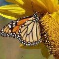 monarch_kb