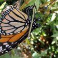 monarch_oviposit_anna