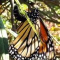 monarch_vipositing_mexican_milkweed_anna