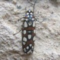moth_cuba_ben
