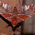 moth_ecuador_allen