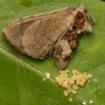 moth_eggs_india_seema