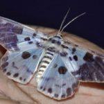 moth_india_ibrahim