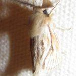 moth_kenya_zarek