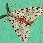 moth_sri_lanka_gary