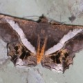 moth_sri_lanka_ton