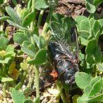 mountain_cicada_corrie