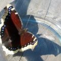 mourning_cloak_bowl_seattle