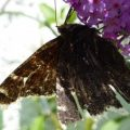mourning_cloak_jeff