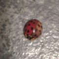 multicolored_ladybug_two_toned_angie