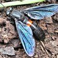 mydas_fly_skinner