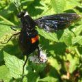 mydas_fly_stefanie