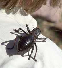 Giant Atlas Beetle Mystery Moroccan Ortho...
