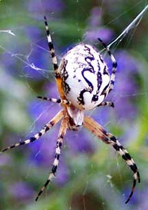 Unknown Orb Weaver: Maybe Neoscona oaxacensis and Cat ...