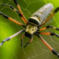 nephila_indonesia_luke