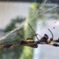 Golden Silk Spider Courtship