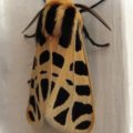nevada_tiger_moth_phil