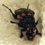 nicrophorus_mites_washington