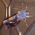 noctuid_australia_blue_head