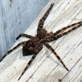 northern_dolomedes_sam