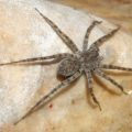 nursery_web_spider_nevada_bruce