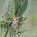 nursery_web_spider_scotland_todd