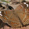 nymphalidae_zambia