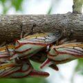 oak_treehoppers_professor_adams