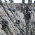 ocotillo_galls_ed
