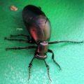 oil_beetle_heather