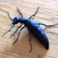 oil_beetle_johnsons