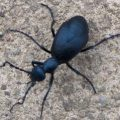 oil_beetle_maria