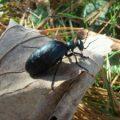 oil_beetle_rhode_island
