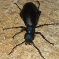 oil_beetle_secretion_pselby