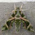 oleander_hawkmoth_afghanistan
