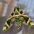 oleander_hawkmoth_mesha