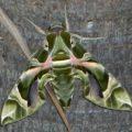 oleander_hawkmoth_pukalani_maui