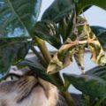 oleander_hawkmoth_puss_hawaii_diana