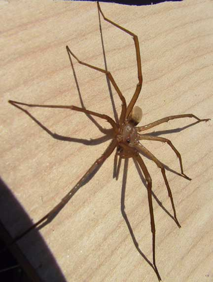 Southern House Spider Or Male Crevice Spider Not Chilean