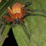 orange_huntsman_ecuador_john