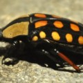 orange_spotted_fruit_chafer_south_africa_jax_2