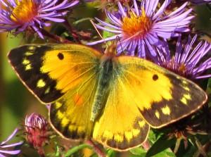 Female Orange Sulphur - What's That Bug?