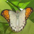 orangetip_josh