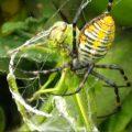 Banded Orbweaver eats Grasshopper