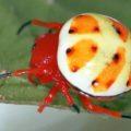 orbweaver_encyosaccus_sexmaculatus_ecuador_karl