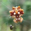 orbweaver_hawaii
