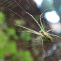 orchard_spider_emma