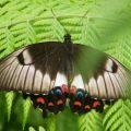 orchard_swallowtail_australia_gayle