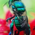 orchid_bee_jenna