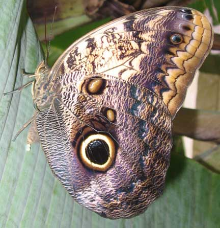 Owl butterfly - photo#24